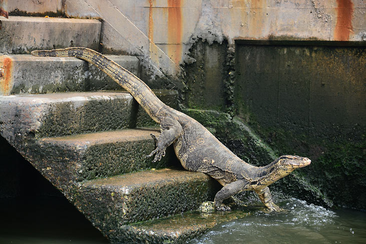 A water monitor